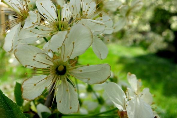 Kirschblüten kurz vor dem Verblühen - die Ränder der Blütenblätter werden schon welk